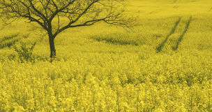 Rape field  and tree Royalty Free Stock Photography