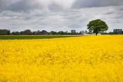 Rape field and tree. Rape field and deciduous tree on a cloudy day Stock Images