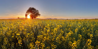 Rape field with tree at sunset Royalty Free Stock Image
