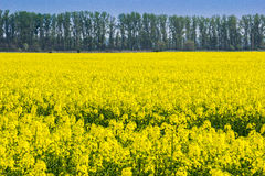 Rape field with trees with blue sky Stock Images