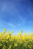 Rape field in Ukraine Royalty Free Stock Photography