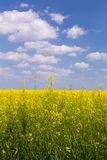 Rape field under blue cloudy sky. Rape field under the blue sky on a sunny day Royalty Free Stock Images