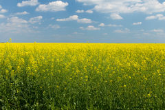 Rape field under blue cloudy sky. Rape field under the blue sky on a sunny day Stock Photo