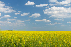 Rape field under blue cloudy sky. Rape field under the blue sky on a sunny day Stock Photography