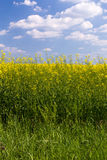 Rape field under blue cloudy sky. Rape field under the blue sky on a sunny day Royalty Free Stock Photography