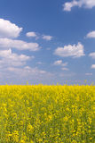 Rape field under blue cloudy sky. Rape field under the blue sky on a sunny day Stock Photos