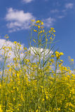 Rape field under blue cloudy sky. Rape field under the blue sky on a sunny day Royalty Free Stock Photo