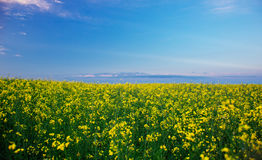 Rape field under blue sky Royalty Free Stock Photography