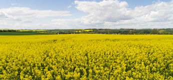 Rape field under blue sky Stock Images