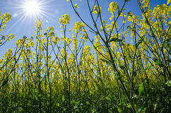 In the rape field Stock Photography