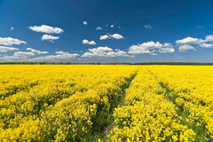 Rape field way Royalty Free Stock Photo