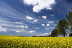 Rape field and white clouds Royalty Free Stock Photography