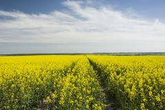 Field and white clouds. Yellow field and white clouds on a blue sky royalty free stock photography