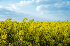 Rape field. Yellow rape field with blue sky Royalty Free Stock Images