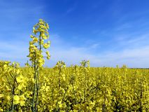 Rape field Stock Images