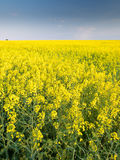 A rape field. A yellow rape field in a central Poland Stock Photo