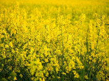 A field. A yellow field in a central Poland Royalty Free Stock Photo