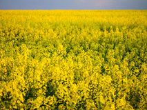 A field. A yellow field in a central Poland Royalty Free Stock Images