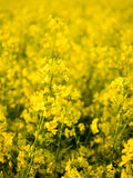 A rape field. A yellow rape field in a central Poland Stock Photography