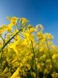 A rape field. A yellow rape field in a central Poland Stock Images