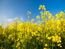 A field. A yellow field in a central Poland Stock Images