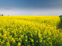 A field. A yellow field in a central Poland Stock Image