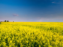 A rape field. A yellow rape field in a central Poland Royalty Free Stock Photo