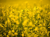 A rape field. A yellow rape field in a central Poland Royalty Free Stock Photos
