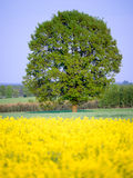 A rape field. A yellow rape field in a central Poland Royalty Free Stock Images