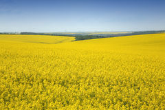 Rape Field. Yellow fields of popular plant Royalty Free Stock Photography