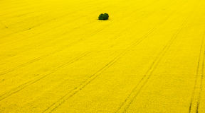 Rape fields from aerial view. Color detail photography of rape fields Royalty Free Stock Image