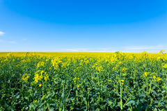 fields in bloom Royalty Free Stock Photos