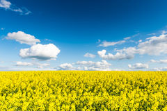 Rape fields in country under blue sky with white clouds Stock Photos