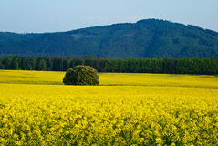 Rape fields, forested mountains in the background Stock Photography
