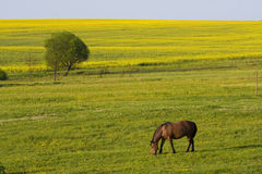 Rape fields and horse Royalty Free Stock Photos