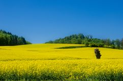 Fields. Rapeseed Brassica napus. Also known as rape, oilseed rape stock photography