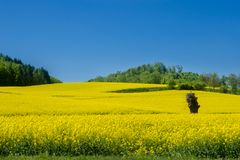 Fields. Rapeseed Brassica napus. Also known as rape, oilseed rape royalty free stock photos