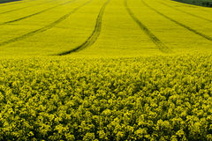 Rape field in springtime Royalty Free Stock Images
