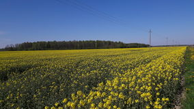 Fields. Started to blossom. Kėdainiai district, Lithuania royalty free stock photography