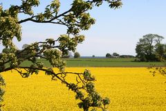 Rape fields Stock Photos