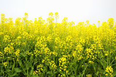 Rape flower Royalty Free Stock Photos