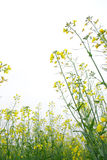 Rape flower Stock Photos