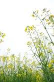 Rape flower. In the field Stock Photos
