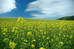 Flower. Yellow oilseed flower and cloud Stock Image