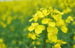 Rape flower Royalty Free Stock Image