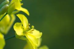 Rape flower Stock Images
