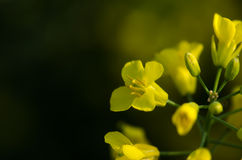 Rape flower Royalty Free Stock Photography