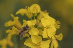 Rape Flower And Bee.Honey Bee Collecting Pollen. Stock Photos