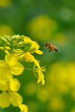 Rape flower and bee. A bee is adopt the honey Royalty Free Stock Images