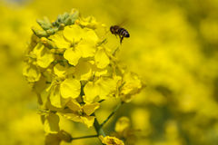 The rape flower and bee in the countryside, chengdu, china Royalty Free Stock Photo